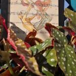 tra le foglie come ali d'angelo per una danza nell'aria di questa primavera silenziosa. Begonia Maculata / ''Danza d'amore''
